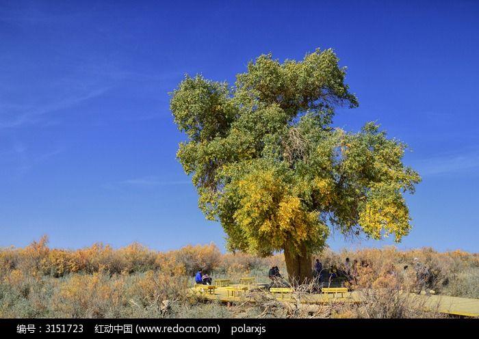 原創攝影圖 自然風景 森林樹林 紅柳叢中一棵綠色的胡楊樹