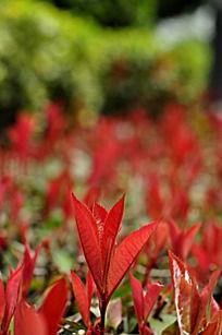 红色的灌木类植物