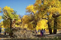 黄色的胡杨树林