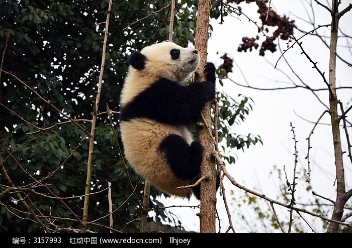 缓慢爬树的熊猫图片,高清大图_陆地动物素材