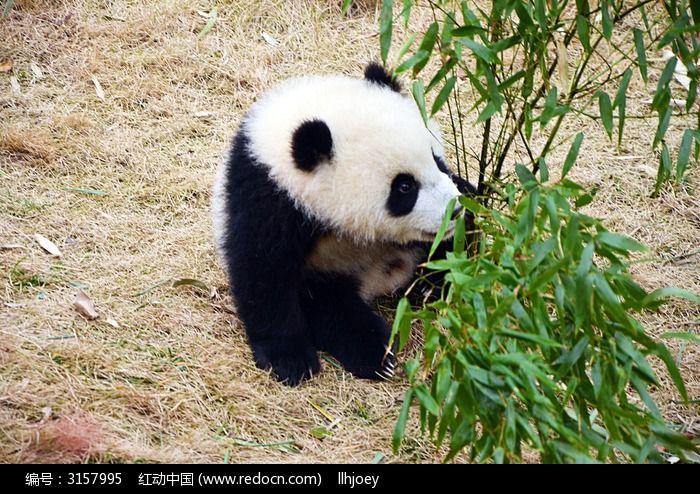 小熊猫在嬉戏图片_动物植物图片