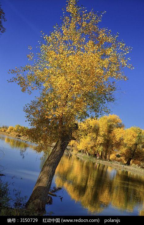 斜生的胡杨树和倒影图片,高清大图_森林树林素材