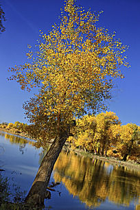 斜生的胡杨树和倒影