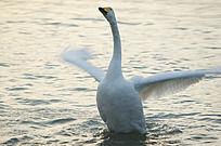 挥动翅膀的大天鹅