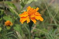 乡间农家小院门前的茼蒿花橘黄色花朵