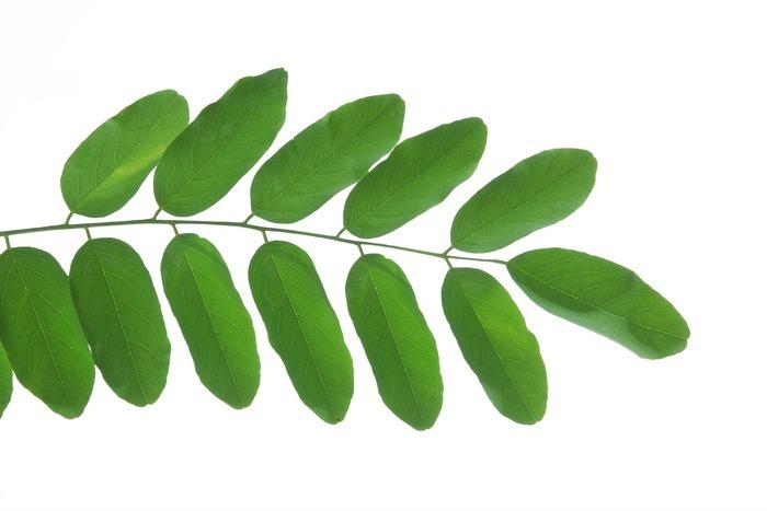 一枝叶子图片