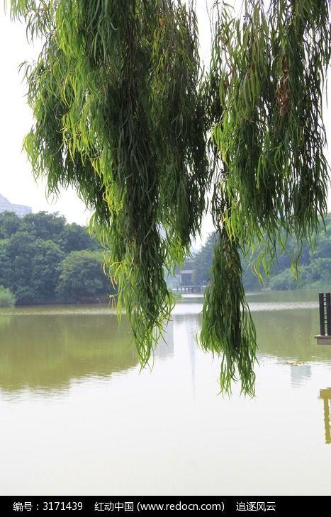 原创摄影图 动物植物 树木枝叶 湖泊边垂下来的树枝  请您分享: 红动