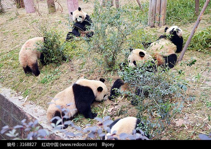 壁纸 大熊猫 动物 700_494