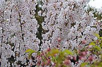 盛开的桃花林图片