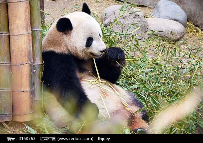 原创摄影图 动物植物 陆地动物 熊猫仔啃竹叶