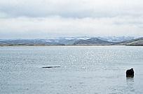 尕海湖中的牦牛