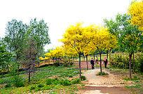 黄色枫树林图片