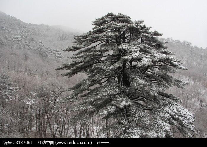 大雪覆盖的松树图片,高清大图