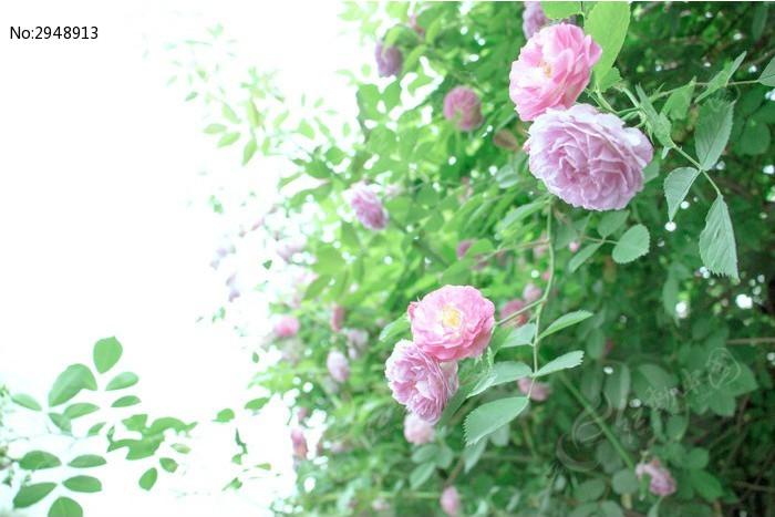 粉色蔷薇花图片