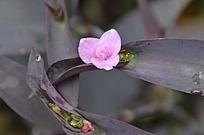 开着粉红色小花的紫叶鸭跖草