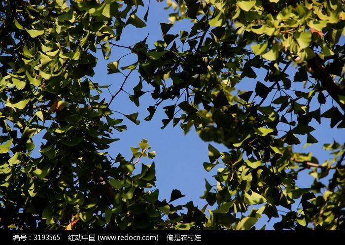 原创摄影图 动物植物 树木枝叶 绿色银杏树叶和蓝色的天空  请您分享