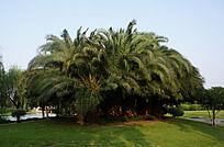 南江公园景观树