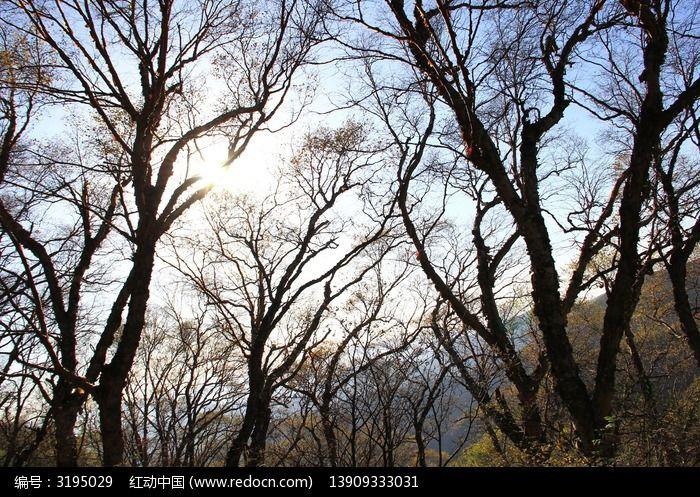 秋天的桦树林图片