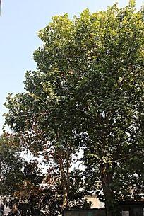 阳光蓝天下的枫树