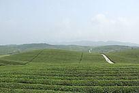 茶叶种植基地