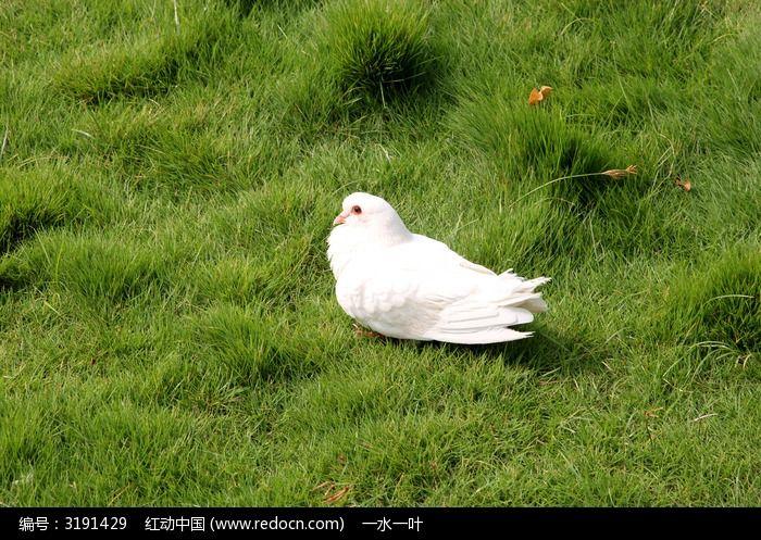纯白色的鸽子图片,高清大图