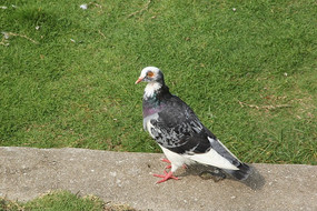 花灰色鸽子