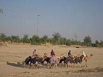沙漠骆驼骑行队