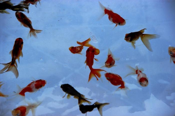 在水中游动的小金鱼