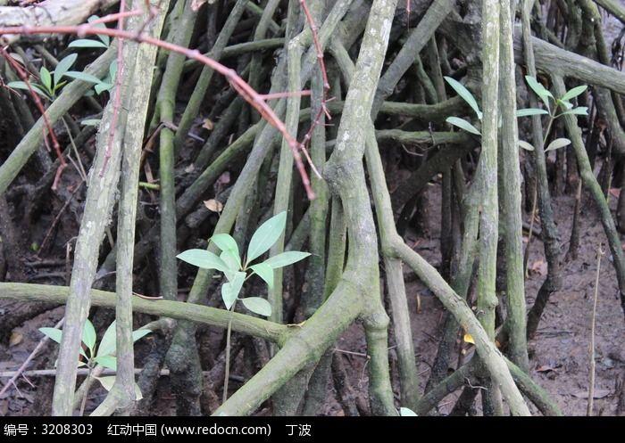 红树林 藤枝 树叶
