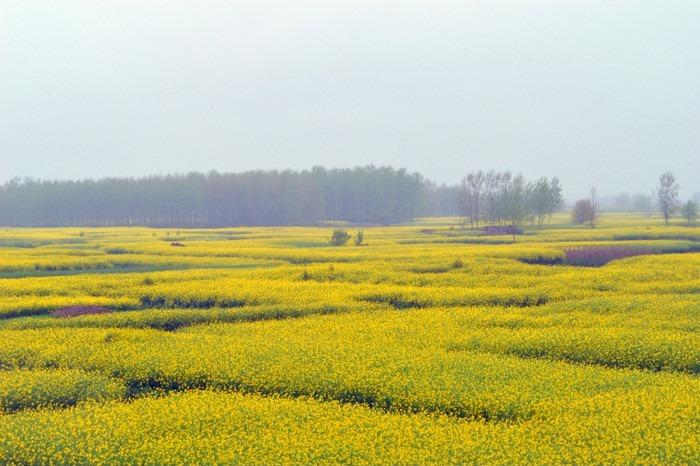 黄色的油菜花花田