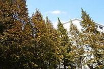 秋天的落叶杉