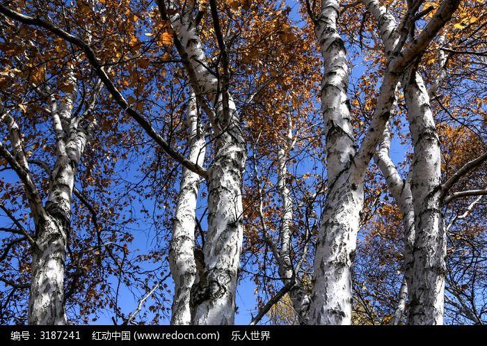 桦树图片,高清大图_树木枝叶素材