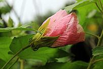 粉色不知名花背侧面