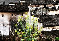 古村落中的油菜花