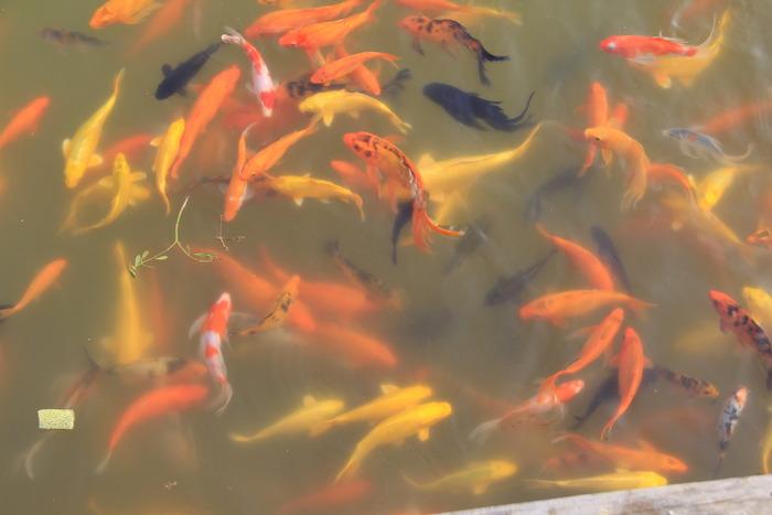 原创摄影图 动物植物 水中动物 湖泊中的金鱼  请您分享: 红动网提供