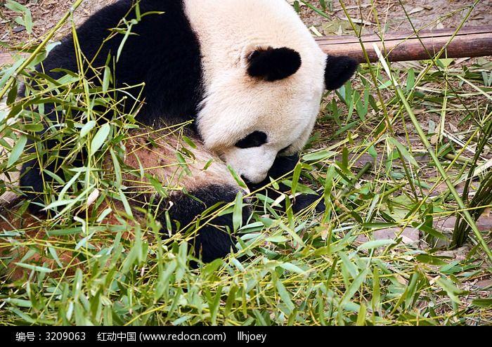 可爱的大熊猫在玩闹图片