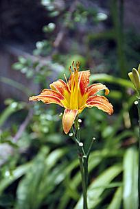 普陀山风景 蝴蝶花 花卉摄影 自然风景 花朵
