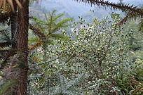 杉木油茶混交林