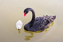 野生黑天鹅母子