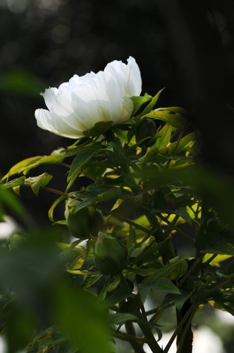 一朵白色牡丹花图片