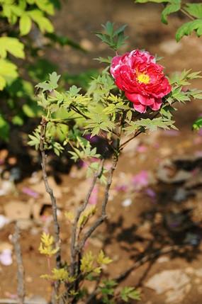 一棵牡丹花
