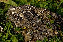 草地上的一片灰色野蘑菇