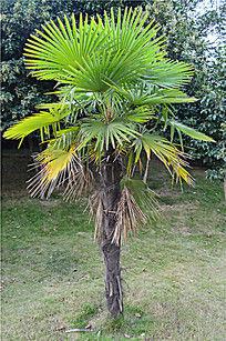 棕榈树果实