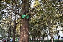 带牌子的落羽杉树木