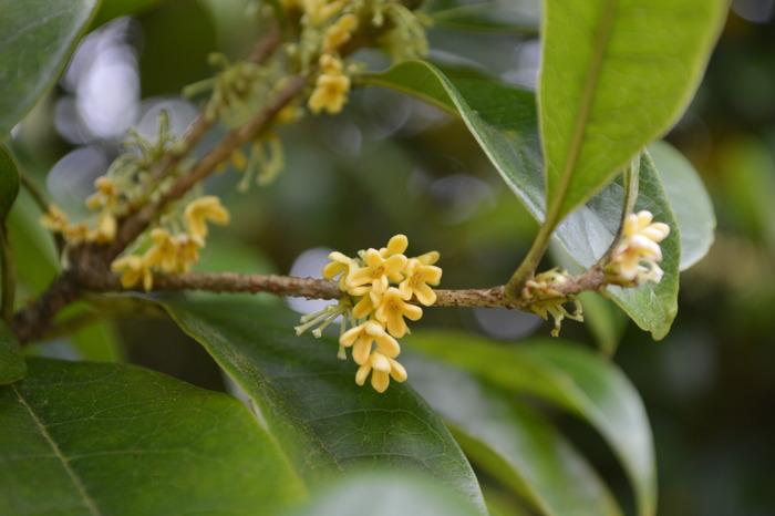 桂花图片,高清大图_森林树林素材