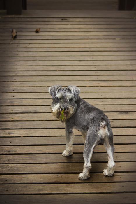 原创摄影图 动物植物 陆地动物 回头看镜头的小狗狗