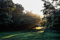 金色阳光下的万亩槐林