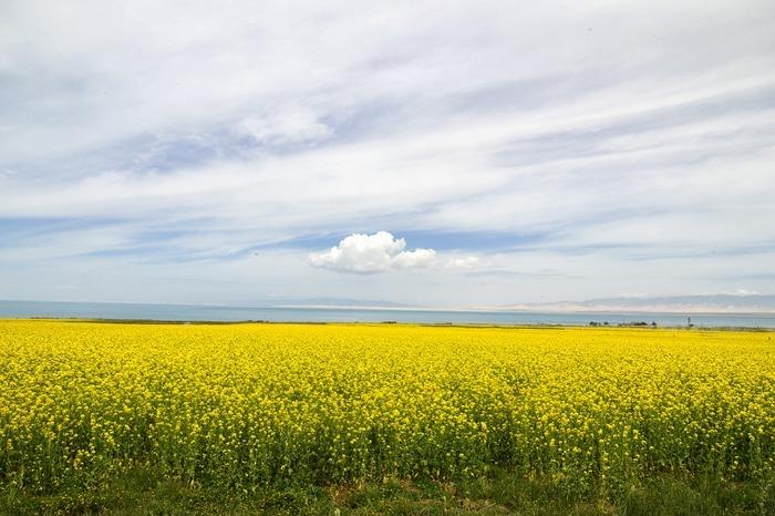 青海湖边盛开的油菜花图片
