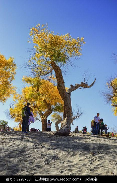 沙地上的胡杨树图片,高清大图_森林树林素材