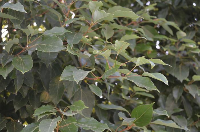 香樟树叶高清图片下载 编号3227265 红动网